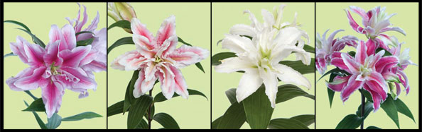 Double Lilies