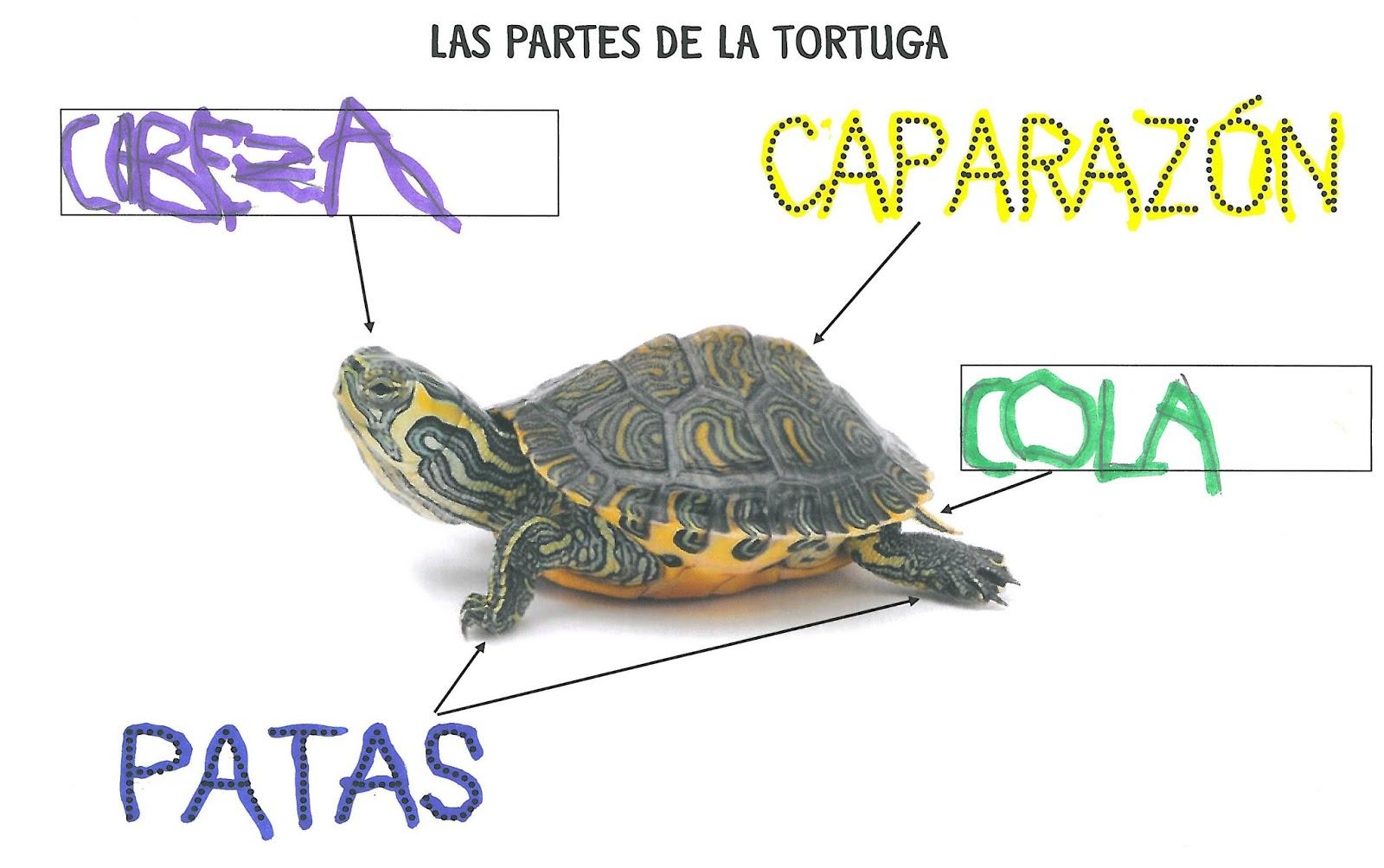 La Clase De Laura: Las Partes De La Tortuga