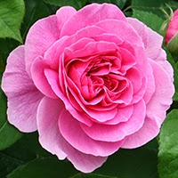 Gertrude Jekyll (Rosa Inglese)