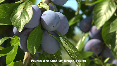plum examples of drupa fruit pictures