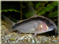 Skunk Cory Fish Pictures