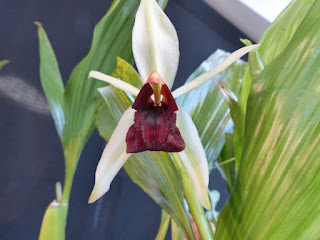 Coelogyne Bird in Flight