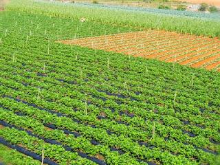 budidaya-tanaman-sawi-putih.jpg