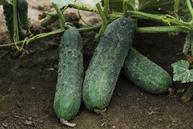 cornichon en realite concombre