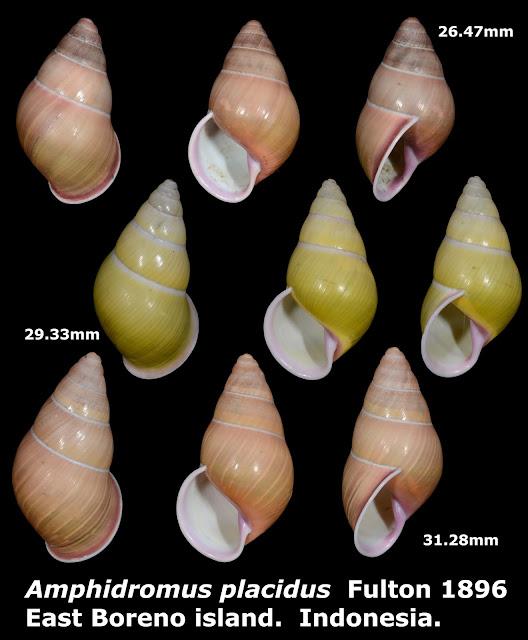 Amphidromus placidus 26.47 to 32.18mm