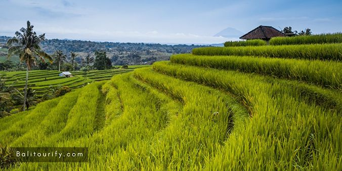 Jatiluwih Rice Terrace, The One Day Private Bali Jatiluwih Rice Terraces and Tanah Lot Temple Sunset Tour
