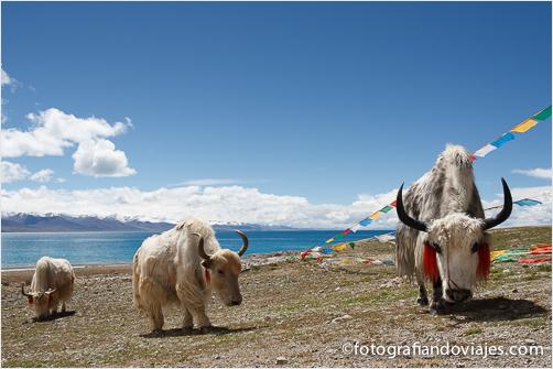 lago Namtso yak blanco Tibet lago Nam Co