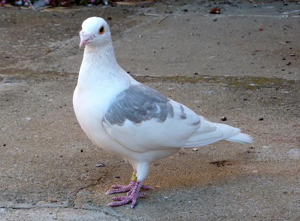 Pigeon coop tip-off