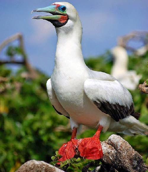 Indian birds - Red-footed booby - Sula sula