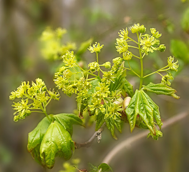 Close up of Field Maple Flowers