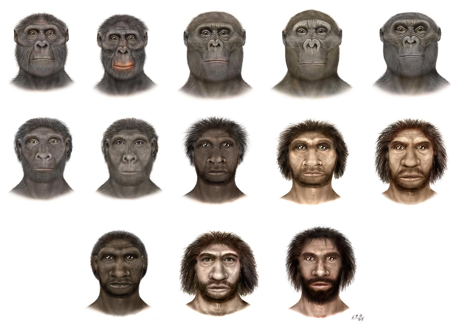 did humans evolve from apes How did humans develop  that all living organisms—including humans—were a product of evolution flpa  is discovered in china and presented as the missing link between apes and humans,.