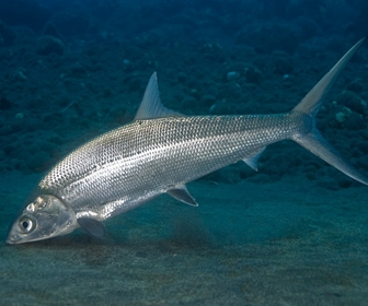 Ikan bandeng - milk fish