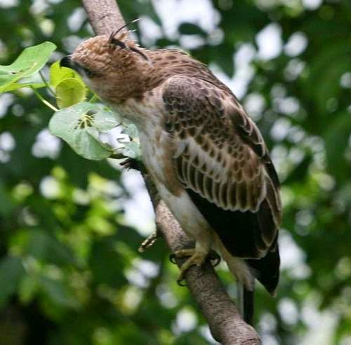 Indian birds -Image of Jerdon's baza - Aviceda jerdoni