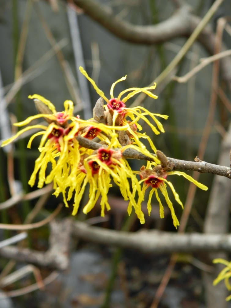 Arnold Promise witchhazel Hamamelis x intermedia spring blooms by garden muses-not another gardening blog