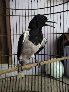 Jenis Burung Jagal