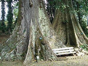 Mitos Pohon Jodoh