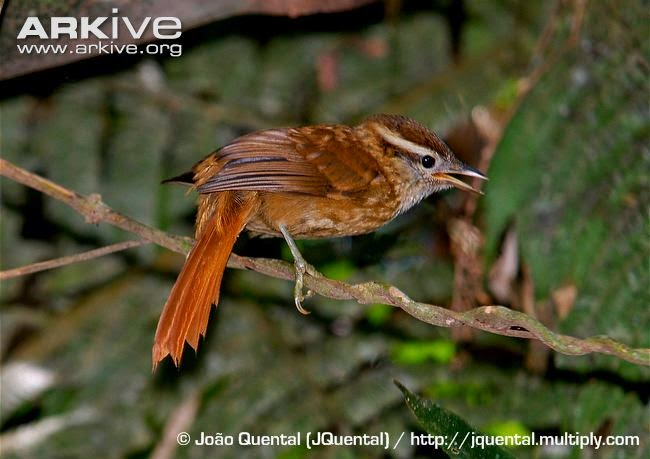 White browed Foliage gleaner