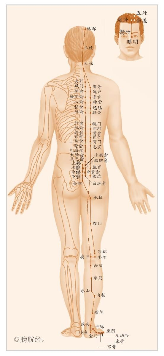 膀胱經:讓身體固若金湯的根本(排毒通道)