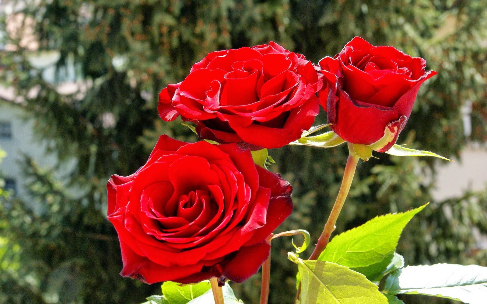 Love Garden Roses: Free Wallpapers Red Rose Love Single 2014http://my143rose