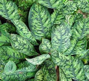 Air purifying plant King of Hearts (Homalomena wallisii)
