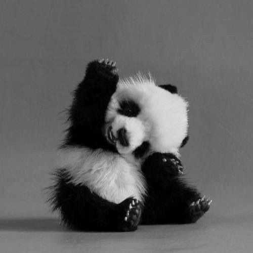 Panda HD Images Free Download Latets Pics Photo Beautiful Photography Wallpaper Of Cute Animal