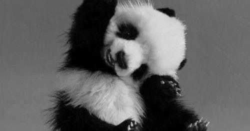 Animal S Hd Images Photos Wallpapers Free Download 2019 Panda Hd Images Pics Photo 4k Wallpaper