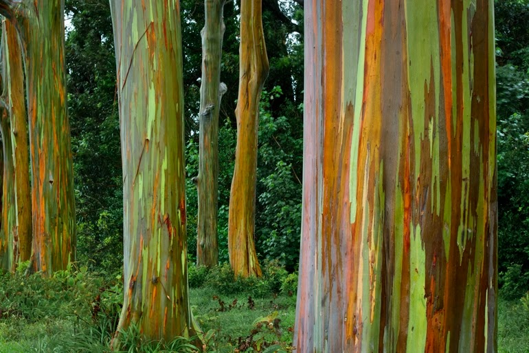 Rainbow Eucalyptus trees in Kailua, Hawaii - 15 Things You Won't Believe Actually Exist In Nature