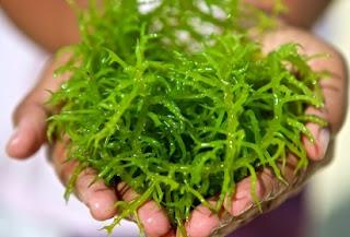 agar agar rumput,agar rumput laut tidak amis,cara memasak rumput laut segar,cara mengolah rumput laut kering menjadi makanan,pengolahan rumput laut menjadi tepung,resep puding rumput laut,