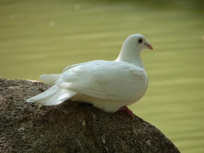 اروع و اجمل صور طيور حمام الزينة