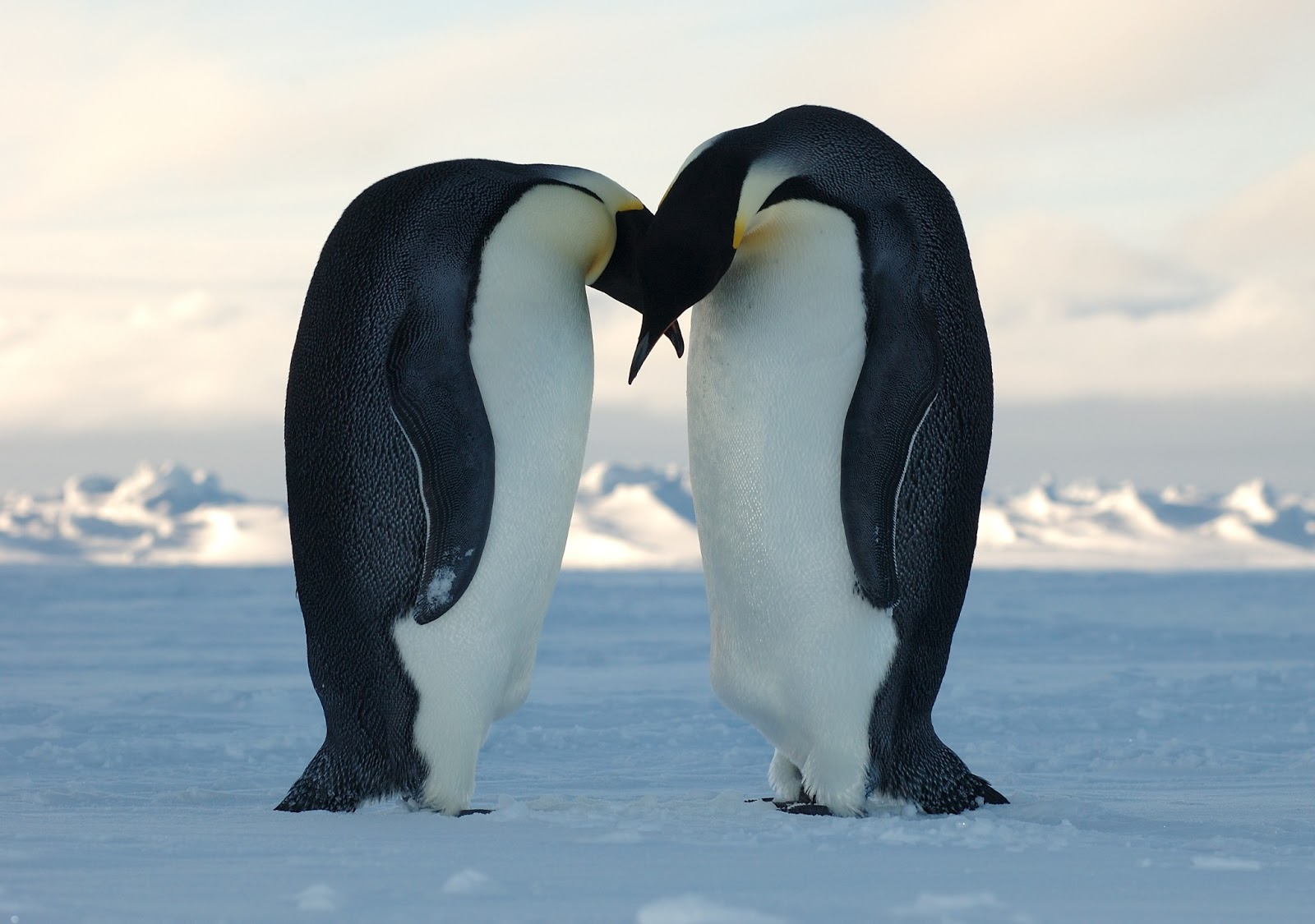 emperor penguins penguin female male couple making lover emporer facts pinguins egg couples penquins mate eggs animals kissing range