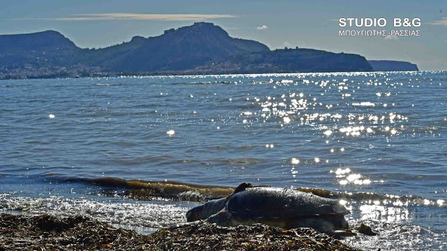Νεκρή θαλάσσια Χελώνα στην παραλία της Νέα Κίου