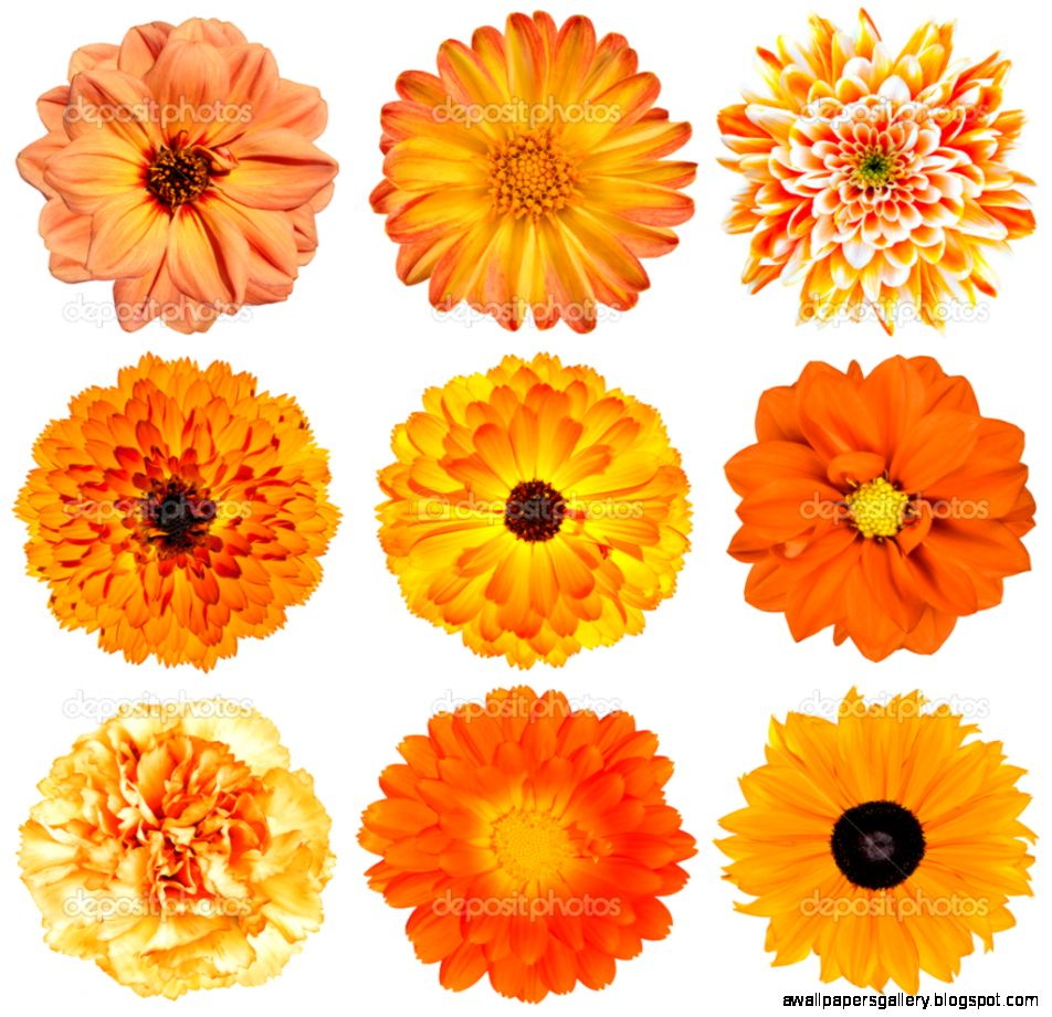 Orange Flower White Background