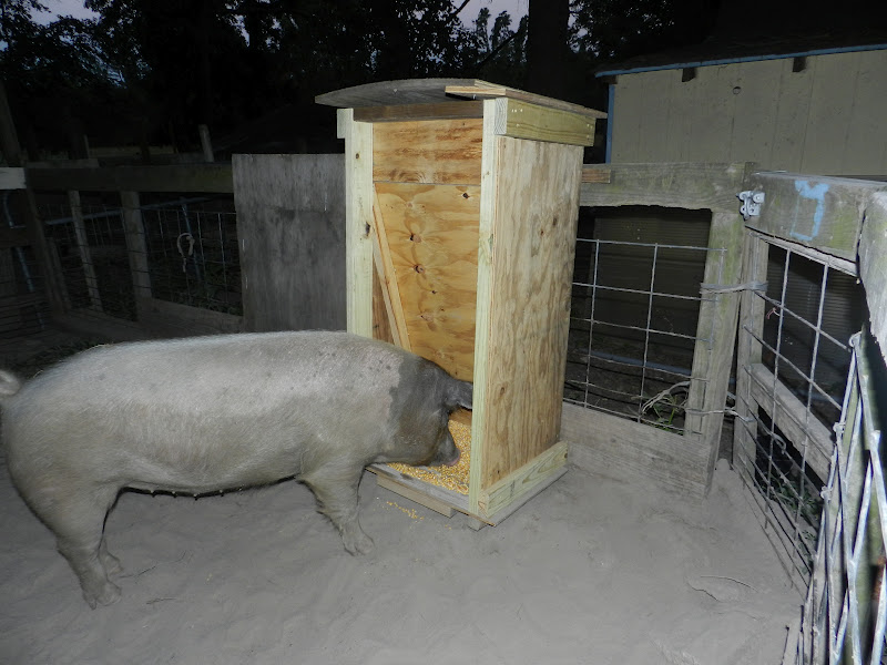 Pig eating corn from a self feeder