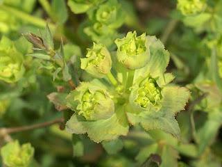 Euphorbe dentée - Euphorbia serrata