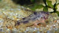 Jenis Ikan Corydoras carlae