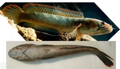 Ceylon snakehead fish, চ্যাং; তেলোটাকি; ঘাইরা বা গাচুয়া মাছ