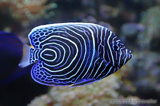 Juvenile Emperer Angelfish