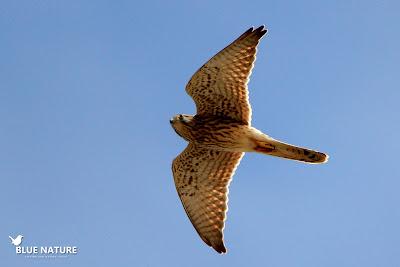 Los cernícalos vulgares (Falco tinnunculus) nos pasaban muy cerca mientras cazaban en los alrededores. Blue Nature