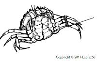 Montage crabe dorade
