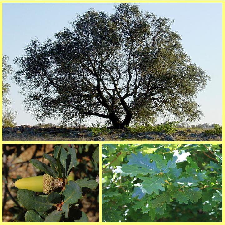 Roble, hojas y frutos