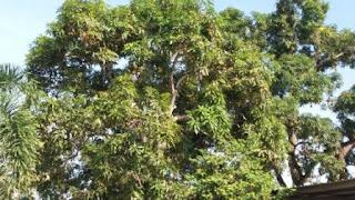 Manguero, el árbol del mango