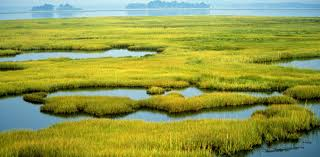 Swamps, these are slow moving streams, rivers or isolated low lying areas with more open and deeper water than marshes. Plants found in the swamps include trees such as cypress trees in freshwater swamps and mangrove in salt water swamps. Swamps have more of woody shrubs than grasses and herbs.