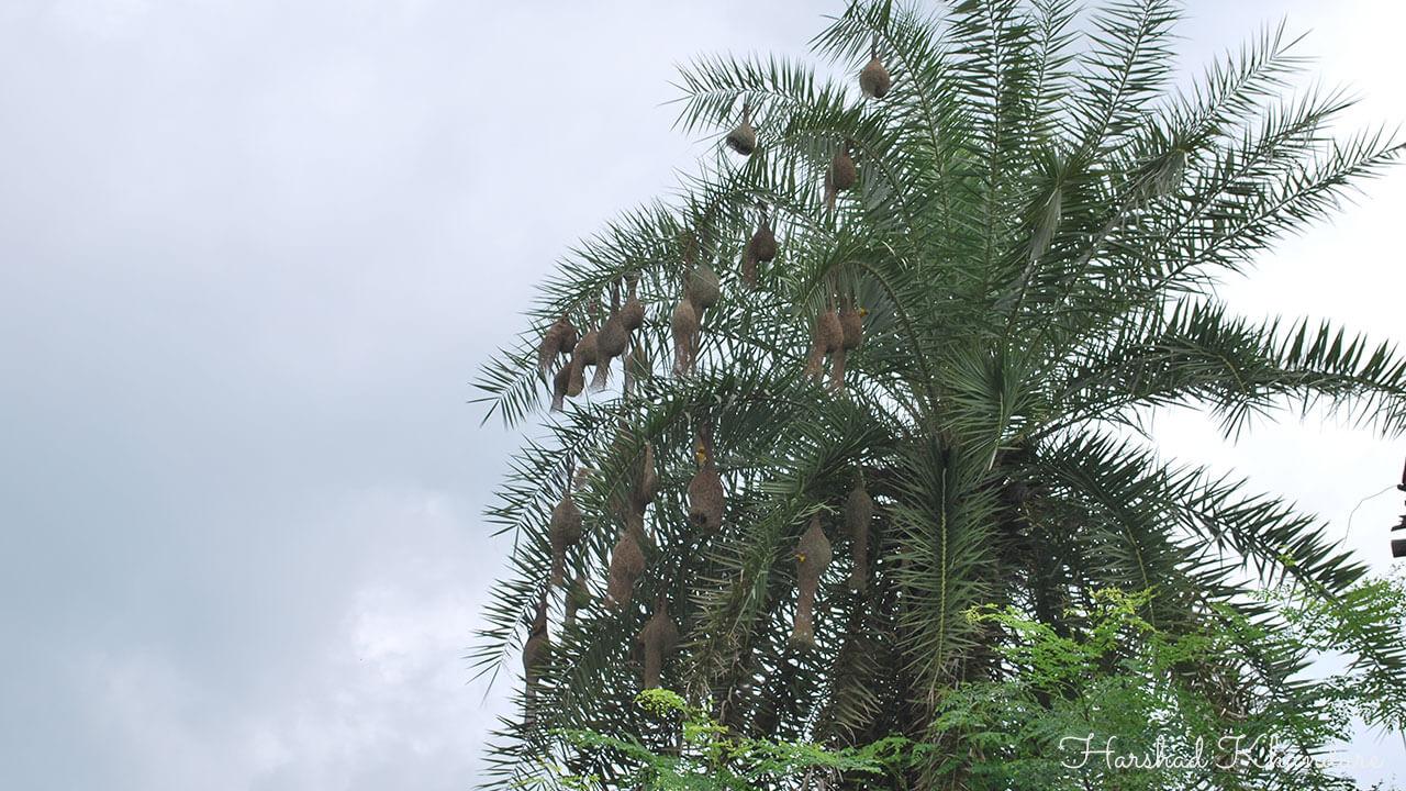 ताडाच्या झाडावरील सुगरणीचे खोपे