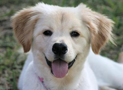 All About Golden Retrievers Golden Retriever Mix Puppies