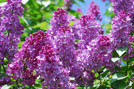 hoa lilac