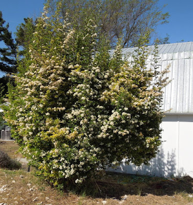 Pyracantha in Bloom in May, © B. Radisavljevic