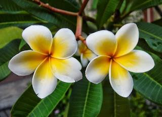 Gambar Bunga Kamboja