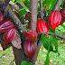 Sejarah Coklat / Kakao Sampai Ke Indonesia