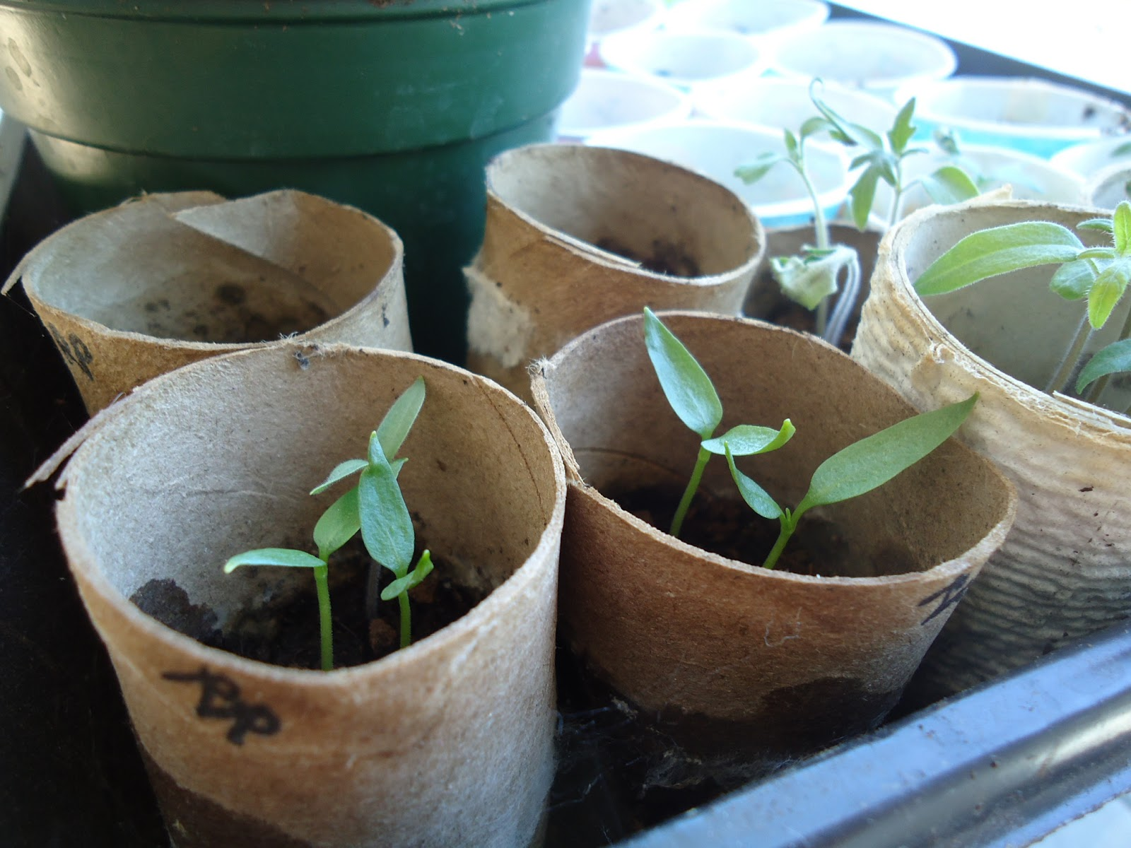 organic seedlings
