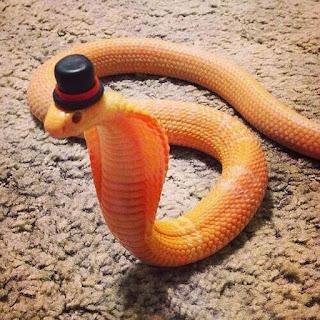 Serpiente naranja con sombrero negro